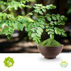 Moringa leaf powder by Hunan Essence
