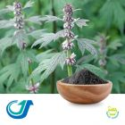 Motherwort Herb 15:1 Full-Spectrum Extract by Tianjiang Pharmaceutical Co., LTD.