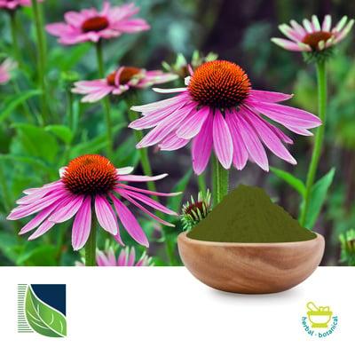 Echinacea Extract 4% Polyphenols by Botanic Healthcare