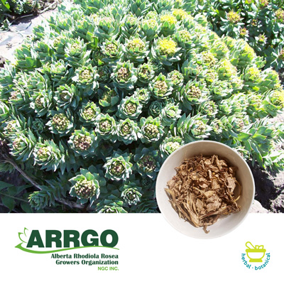 Rhodiola Rosea Dried Chips (0.8-1% Rosavins) by Arrgo